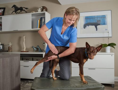 Animal Chiropractic Care Keeps your Pet Moving Well
